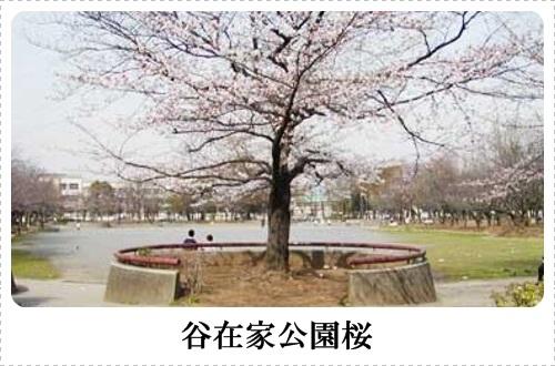 谷在家公園桜